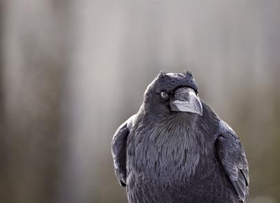 Ravens - Intelligent?